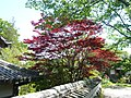 御所市高天 橋本院にて Japanese maple at Hashimoto-in 2011.5.14 - panoramio.jpg
