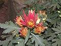日本嵯峨菊-嵯峨之琴 Chrysanthemum morifolium 'Saga' -台北士林官邸 Taipei, Taiwan- (9204832181).jpg