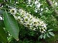 李屬 Prunus salicifolia -比利時 Ghent University Botanical Garden, Belgium- (9227005739).jpg