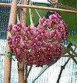 毬蘭屬 Hoya cinnamomifolia v purpureofusca -波蘭 Krakow Jagiellonian University Botanic Garden, Poland- (35963096913).jpg
