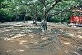 海南国际旅游岛——宋庆龄祖居内的根繁枝茂、盘根错节的大树(西向) - panoramio.jpg