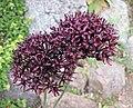 深紫蔥 Allium atropurpureum -哥本哈根大學植物園 Copenhagen University Botanical Garden- (36775673741).jpg