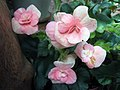 玫瑰海棠 Begonia mannii -香港公園 Hong Kong Park- (14042047316).jpg
