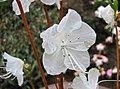 白花迎紅杜鵑 Rhododendron mucronulatum v albiflorum -南韓晨靜樹木園 Garden of Morning Calm, South Korea- (33142022013).jpg