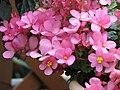 秋海棠屬 Begonia x cheimantha 'Love Me' -日本京都植物園 Kyoto Botanical Garden, Japan- (39880096570).jpg