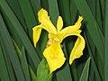 花菖蒲(玉蟬花) Iris kaempferi (Iris ensata) Yellow -香港公園 Hong Kong Park- (9216111278).jpg
