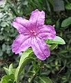 蘆莉草屬 Ruellia solitaria -哥本哈根大學植物園 Copenhagen University Botanical Garden- (36901525111).jpg