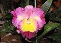 西施 Brassolaeliocattleya Chinese Beauty -香港沙田洋蘭展 Shatin Orchid Show, Hong Kong- (9255244490).jpg