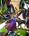 軛瓣蘭屬 Zygopetalum Blackii -香港蘭花節 Hong Kong Orchid Festival- (39710836390).jpg