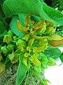 釘頭果 Gomphocarpus fruticosus -香港北區花鳥蟲魚展 North District Flower Show, Hong Kong- (24106752031).jpg