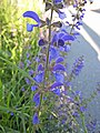 鼠尾草屬 Salvia pratensis -瑞士 Lucerne, Switzerland- (9198097647).jpg