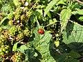 -2018-08-15 Ladybird on Blackberry bush, Church street, Trimingham (1).JPG