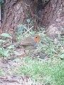-2018-12-15 Robin (Erithacus rubecula), Trimingham, Norfolk.JPG
