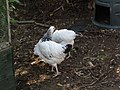 -2020-07-14 Young Light Sussex chickens, Trimingham (1).JPG