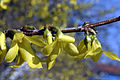 - Forsythia intermedia 02 -.jpg