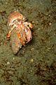 08-EastTimor-Night Dive Tasi-Tolu 26 (Crab in the net)-APiazza.JPG