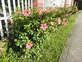 0985jfHibiscus rosa sinensis Linn White Pinkfvf 08.jpg