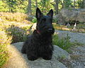 0Scottish Terrier.jpg