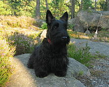 Black Scottie Dog Pictures