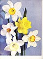1945 Iris tulips daffodils (1945) (16483113180).jpg