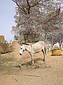 1Backyard Animal in a typical village setting in Katsina Nigeria.jpg