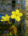 2006-11-16Jasminum nudiflorum09.jpg