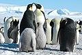 2007 Snow-Hill-Island Luyten-De-Hauwere-Emperor-Penguin-77.jpg