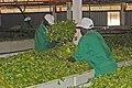 2009.12-363-1125ap tea,processing(withering),stirring Rukuriri Tea Factory,tea-zone N of Embu(C Highlands),KE mon14dec2009-1242h.jpg
