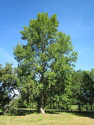 Populus × canescens - Image: 20120827Pappel Saarbruecken
