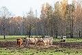 20121020-15(Engures ezera savvaļas govis).jpg