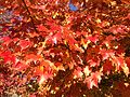 2014-10-30 10 08 26 Red Maple foliage during autumn along Dunmore Avenue in Ewing, New Jersey.JPG