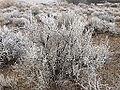2014-12-17 09 48 16 Rime from freezing fog on sagebrush in Elko, Nevada.JPG