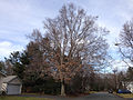 2014-12-30 13 07 43 American Beech along Clement Avenue in Ewing, New Jersey.JPG