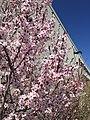 2015-03-27 13 45 00 Purple-leaf plum blossoms at the Northeastern Nevada Museum in Elko, Nevada.JPG