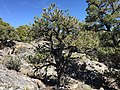 2015-04-27 13 28 18 A smaller Single-leaf Pinyon on the north wall of Maverick Canyon, Nevada.jpg