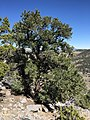 2015-04-27 14 19 36 An older Single-leaf Pinyon on the north wall of Maverick Canyon, Nevada.jpg
