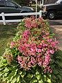 2015-05-20 16 52 40 'Rosebud' Azaleas blooming along Terrace Boulevard in Ewing, New Jersey.jpg