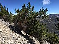 2015-07-13 10 39 14 A Great Basin Bristlecone Pine along the North Loop Trail about 9.0 miles west of the trailhead in the Mount Charleston Wilderness, Nevada.jpg