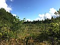 2015-08-20 17 14 12 Tamaracks in a sphagnum bog adjacent to Taborton Road (Rensselaer County Route 42) in Sand Lake, New York.jpg