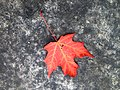 2015-365-294 Red Maple Down (21755965673).jpg