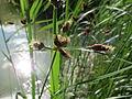 20150613Bolboschoenus maritimus1.jpg