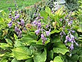 2016-07-13 09 20 01 Hosta blooming along Terrace Boulevard in Ewing, New Jersey.jpg