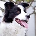 20160428 dog border collie panting (cropped).jpg