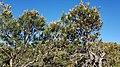 2018-01-31 171512 Banksia Attenuata, Nambung National Park, West Australia anagoria.jpg