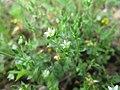 20180524Arenaria serpyllifolia.jpg