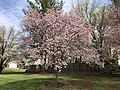 2019-04-06 12 05 42 Autumn Cherry blooming along Lees Corner Road in the Franklin Farm section of Oak Hill, Fairfax County, Virginia.jpg