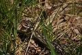 20210530 16-49 alpha6k iso100 f7.1 640s Kreuzotter Wildsee Hornisgrinde.jpg