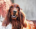 3028-american-cocker-spaniel-dog (20498905515).jpg