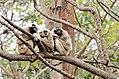 3 Crowned gibbon .jpg