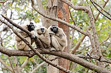 3 Crowned gibbon .jpg